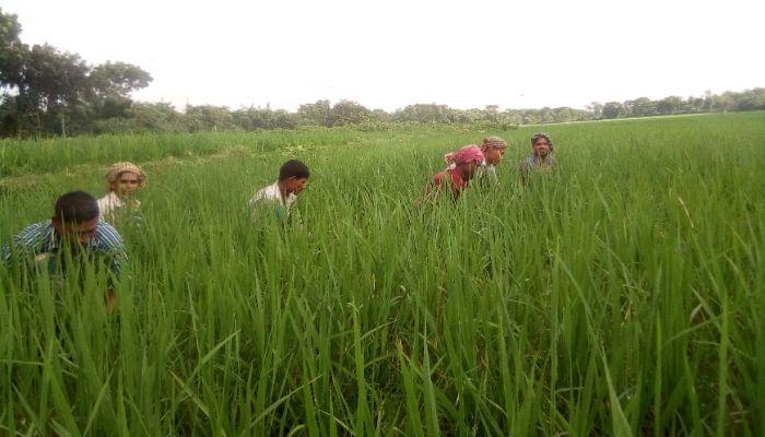 ঝিনাইদহে ধান উৎপাদনে খরচ বাড়ছে