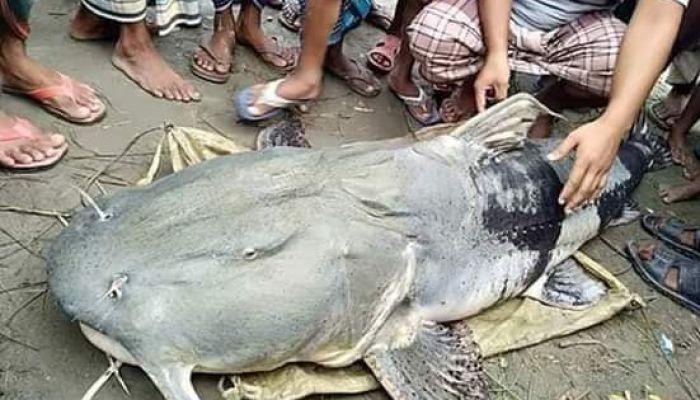 ডোবায় মিলল ৮২ কেজি বাঘাইড় মাছ!