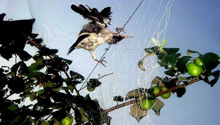 ঝিনাইদহে ফসল রক্ষার নামে নির্বিচারে পাখি নিধন