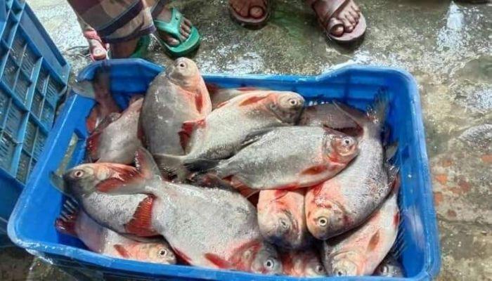ইসলামপুরে পিরানহা মাছ উদ্ধার